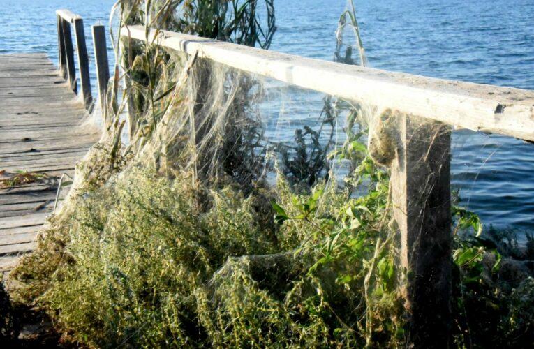 Εντυπωσιακό φαινόμενο: «Πέπλο» από ιστούς αράχνης κάλυψε τη βλάστηση στο Αιτωλικό (βίντεο)