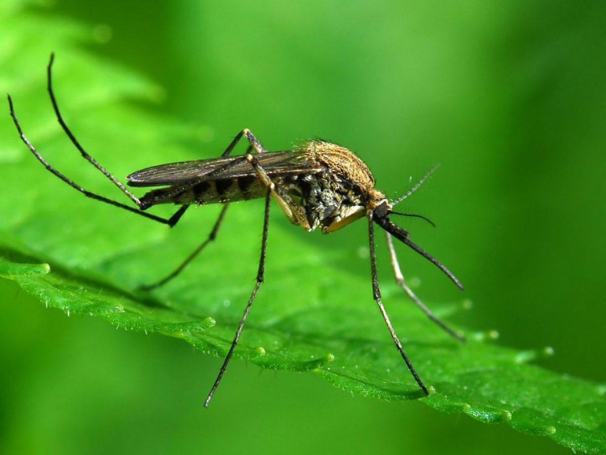 Κουνούπια πιο ανθεκτικά στο κρύο ενδέχεται να αποικίσουν την Ελλάδα