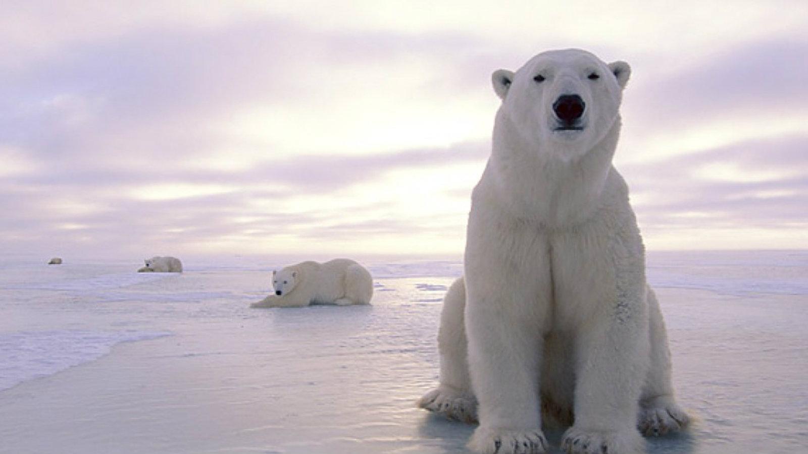 Σήμα κινδύνου για τις πολικές αρκούδες: Ίσως να έχουν εξαφανιστεί μέχρι το 2100